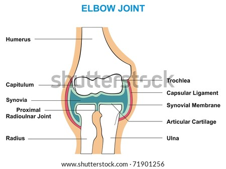 VECTOR - Elbow Joint Cross-Section - Showing the Major Parts which made the Elbow Joint (capsular ligament, articular cartilage, synovial membrane, synovia, capitulum, trochlea, humerus, radius, ulna)