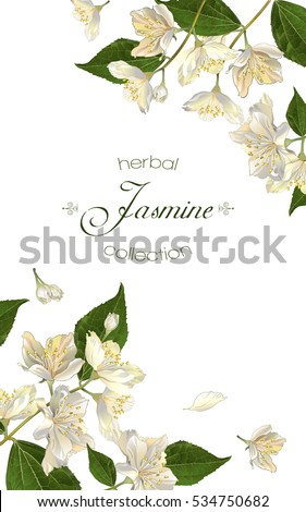 Vector elegant jasmine flower vertical banner on white background. Design for herbal tea, health care products, natural cosmetics, essential oil. Can be used as greeting card or wedding invitation