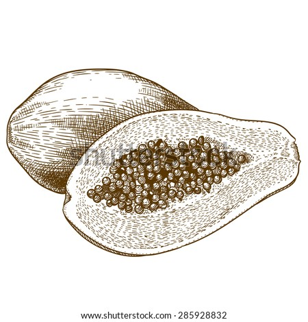 Vector engraving drawing antique illustration of papaya isolated on white background