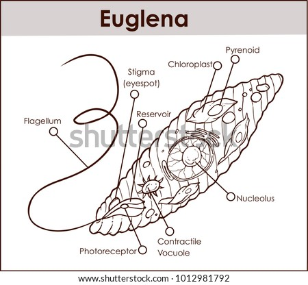 Euglena stock images royalty free images vectors shutterstock vector euglena cross section diagram representative protists euglenoid plant like and animal like microscopic creature with ccuart Image collections