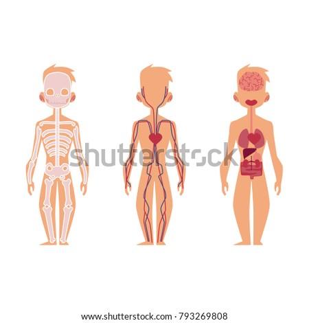 Vector Flat Structure Human Body Anatomy Stock Vector (2018 ...