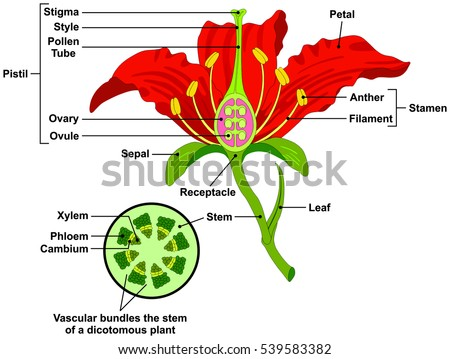 Vector flower parts diagram stem cross stock photo photo vector vector flower parts diagram with stem cross section anatomy of plant morphology and its contents useful ccuart Choice Image