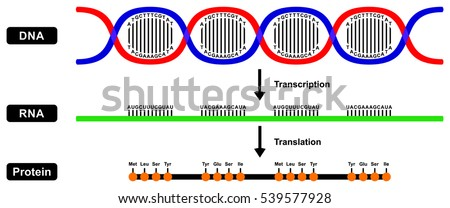 translation of mrna to protein pdf