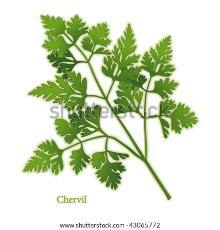 vector - Fresh Chervil Herb. Delicate, lacy leaves, aroma & taste reminiscent of anise  to garnish & flavor poultry, meat, fish, salads, soups, omelets, Fines Herbes, Bouquet Garni. EPS8 compatible. - stock vector