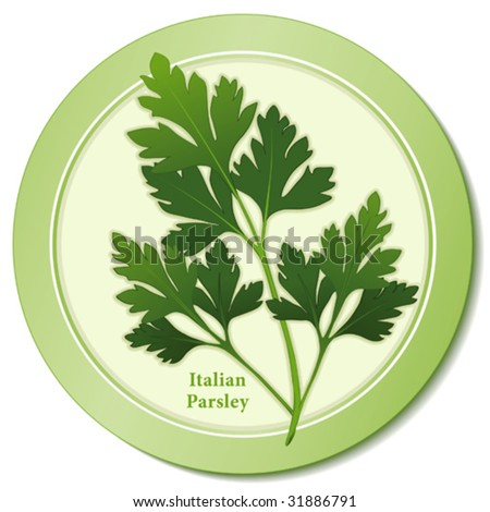vector - Fresh Italian Parsley Herb: Flat green leaves, preferred variety for cooking, garnishes, French herb blends: Fines Herbs & Bouquet Garni. Copy space. EPS8 in groups for easy editing. - stock vector