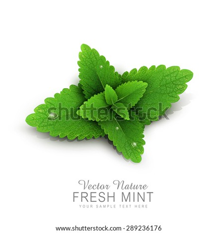 Vector fresh mint leaves with dew drops. isolated on white background (element for design) - stock vector