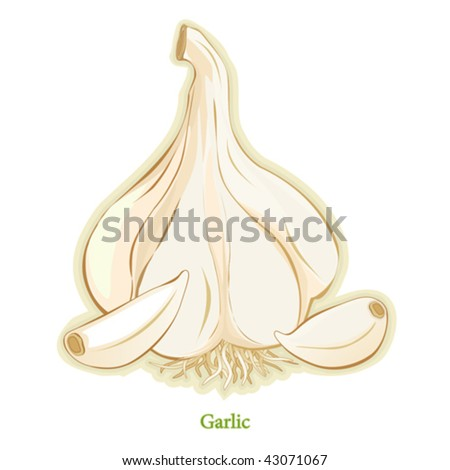 vector - Garlic Bulb & Cloves, distinctive aroma & taste, all-time favorite seasoning in world-wide cuisines for cooking, salads & vegetables. See other herbs & spices in this series. EPS8 compatible. - stock vector