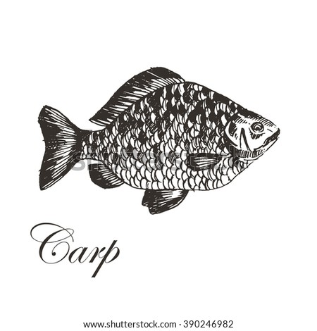 vector hand drawn carp fish illustration. seafood fish sketch drawing