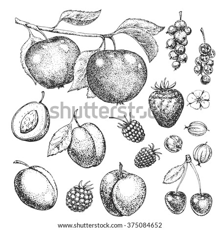 Vector hand drawn food. Fruits and berries. Vitamins. Vintage illustration in style of engraving. Healthy food. Strawberry, cherry, raspberry, blackberry, gooseberry, apple, plum, apricot. Sketch.