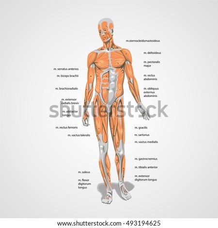 Vector Human Body Muscles Anatomy Sign Stock Vector 493194625
