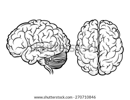 Vector human brain. Anatomy and science, medicine and head, intelligence and think - stock vector