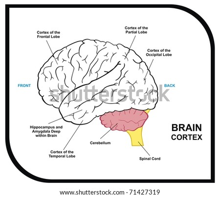 VECTOR - Human Brain Diagram - including ( cortex of frontal, partial, occipital, temporal Lobes ) - Useful for Education, Hospital and Clinic - stock vector