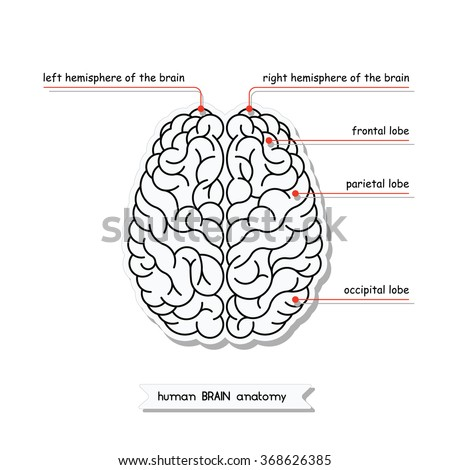 Vector human brain view isolated brain stock vector 368626385 vector human brain view isolated brain top view illustration of human brain for medical ccuart Choice Image