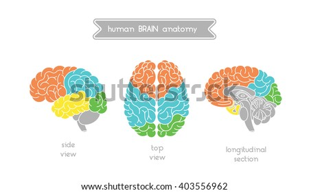 Vector human brain views. Brain top view, side view and section. Illustration of human brain for medical design, educatin or logo design. Easy recolor. Vector human brain. Logo brain. - stock vector