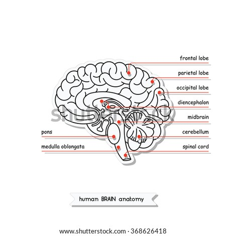 vector human brain views isolated brain stock vector 2018 rh shutterstock com Blank Brain Diagram easy to draw brain diagram