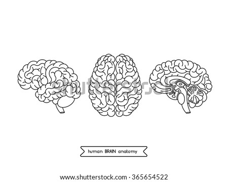 Vector human brain views. Isolated top view, side view and section. Illustration of human brain for medical design, study or concept for logo design. Easy recolor. Vector human brain. Logo brain. - stock vector