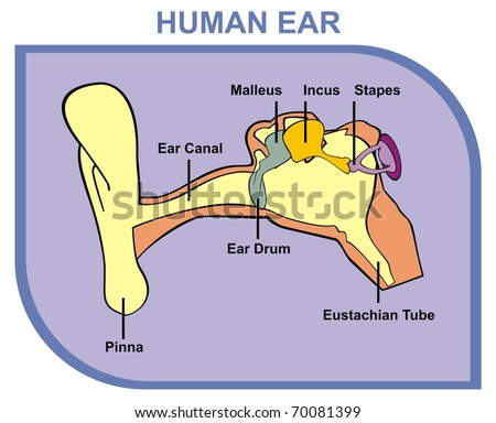 VECTOR - Human Ear - Including External, Middle & Outer Ear - Parts are Shown (Pinna, Ear Canal, Ear Drum, Malleus, Incus, Stapes, Eustachian Tube) - Useful For School, Medical Education and Clinics - stock vector