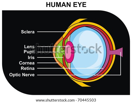 VECTOR - Human Eye Cross-Section including Eye Parts (sclera, lens, pupil, iris, cornea, retina, optic nerve ) - Helpful for Clinic and Education in school, college, university - Medical Diagram - stock vector