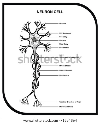 VECTOR - Human Neuron Cell - Including Cell Parts ( dendrite, nucleus, myelin sheath, axon, body, membrane, terminal branches, motor end ... ) - Useful for Education - stock vector