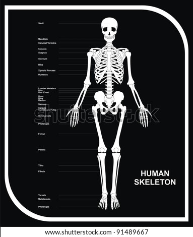 VECTOR - Human Skeleton (All Major Bones of Human Body) in anatomical position - Front View - Helpful Educational Diagram