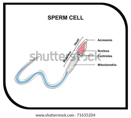 VECTOR - Human Sperm - stock vector