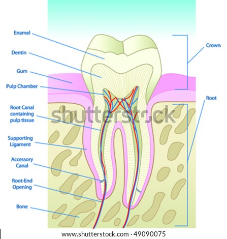 Vector illustrated tooth diagram cross section stock vector 49090075 vector illustrated tooth diagram cross section with labels ccuart Image collections