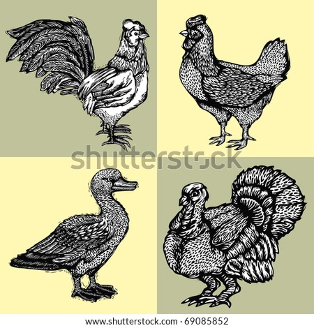 Vector illustration graphically drawn poultry - turkey, duck, chicken and a rooster. Imitation of woodcuts - stock vector