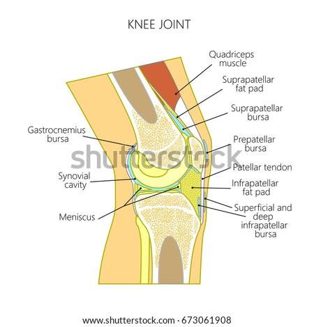 Vector Illustration Healthy Knee Joint Anatomy Stock Vector