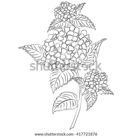 Vector illustration of an ink sketch hydrangea flower - stock vector