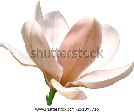 Vector Illustration of beautiful magnolia, Spring flower isolated on white background - stock vector