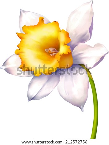 Vector Illustration of Daffodil flower or narcissus isolated on white background - stock vector