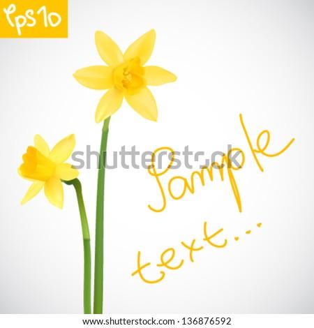 Vector illustration of daffodils - stock vector