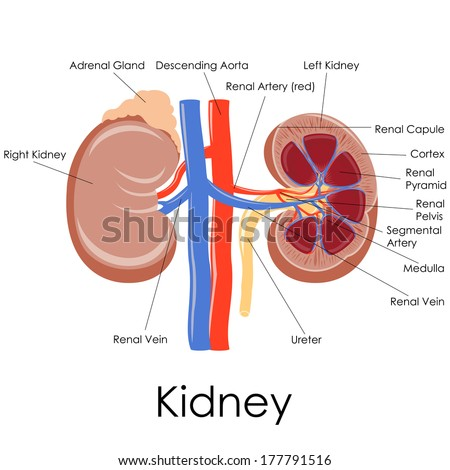 Adrenal Gland Stock Images, Royalty-Free Images & Vectors ...