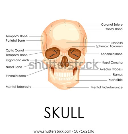 vector illustration of diagram of human skull - stock vector