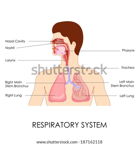 Vetor stock de vector illustration diagram respiratory system livre vector illustration of diagram of respiratory system ccuart