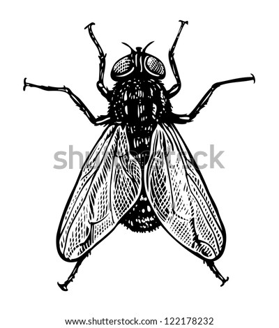 Vector illustration of fly in vintage engraved style - stock vector