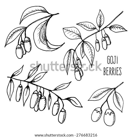 Vector illustration of fresh Goji Berries (Wolfberries) with leaves on white background. Hand drawn sketch of goji berries. Health and nature - stock vector