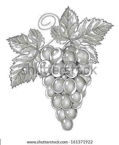 Vector illustration of grapes in vintage engraved style. - stock vector
