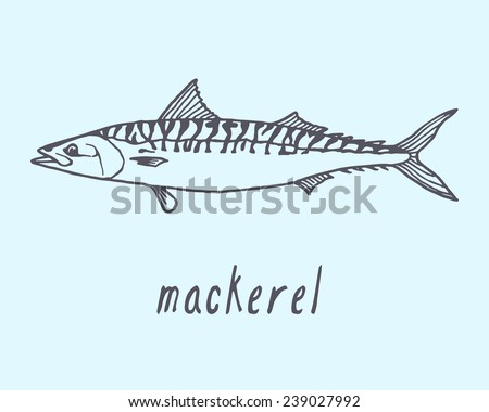 Vector illustration of hand drawn mackerel fish. Advertising, menu or packaging cool design elements. - stock vector