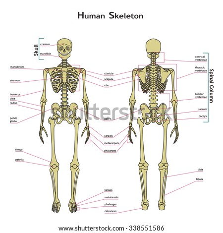 Vector illustration of human skeleton. Didactic board of anatomy of human bony system. Illustration of skeletal system with labels. A diagram of the main parts of the skeletal system.  - stock vector