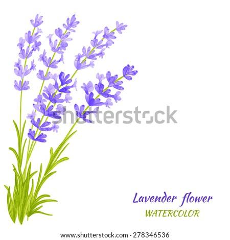 Vector illustration of Lavender. Watercolor floral illustration. Floral design elements. Global color used. - stock vector