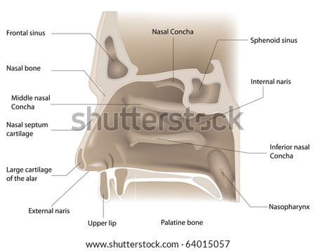 vector illustration of nose anatomy on white background