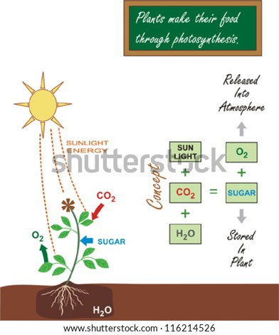 Photosynthesis Stock Images Royalty Free Images Amp Vectors