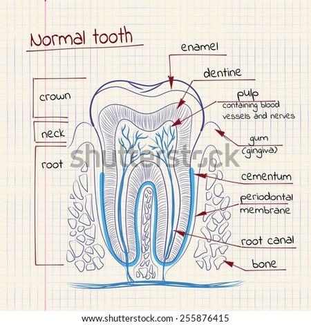 Structure Of Teeth Diagram Online Schematic Diagram