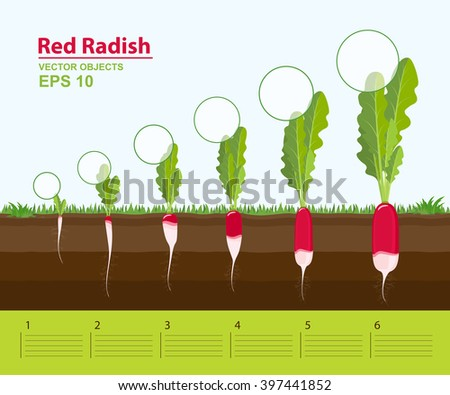 a diagram of a cochlea spiral organ region of vector infographic concept planting process flat stock ... diagram of a radish plant