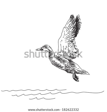 Vector Illustration Sketch of Duck flying over water