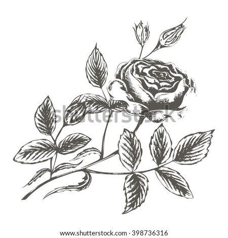 vector illustration sketch of rose blossoms and buds with leaves on a white background in retro style