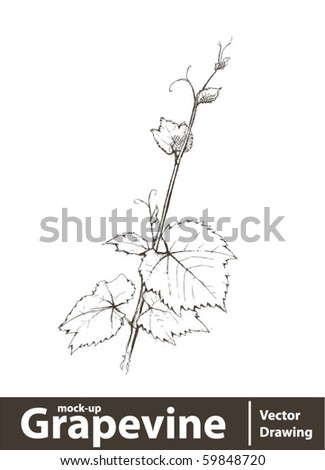 Vector illustration. Wild grape vine isolated on white - stock vector