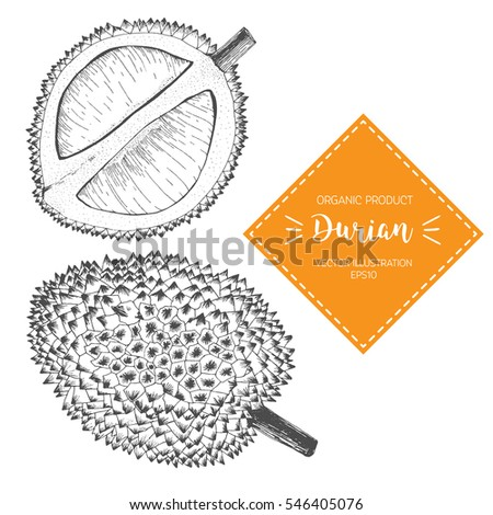 Vector illustration with durian sketch.  Whole fruit and opened. Design elements.