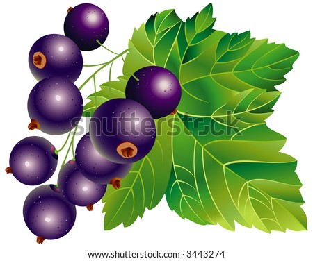Vector image of black-currant - stock vector
